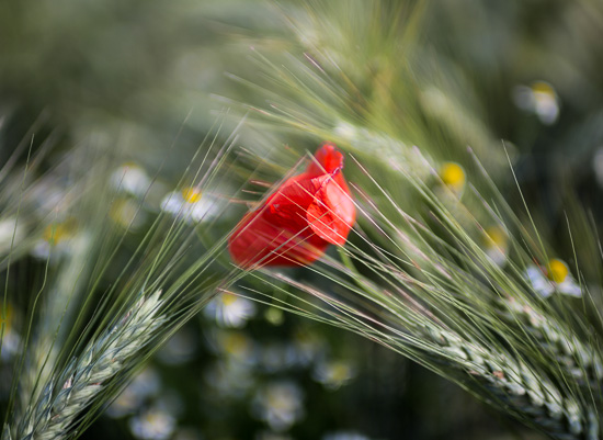 Kitschige Mohnblüte